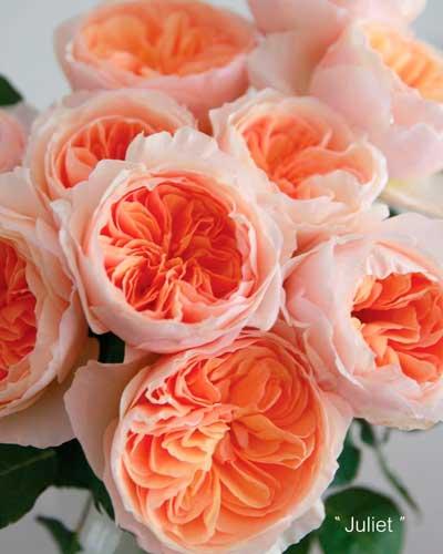 curiosidades de las rosas