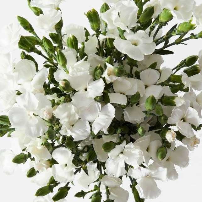ramo de clavellinas blancas