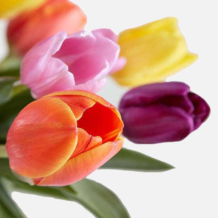 Piur Yogui - Tulipanes variados 1