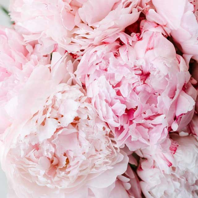 peonias rosa palo